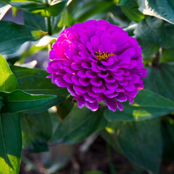 Zinnia Benary's Giant